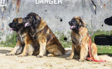 La processionaria: un pericolo per i nostri cani